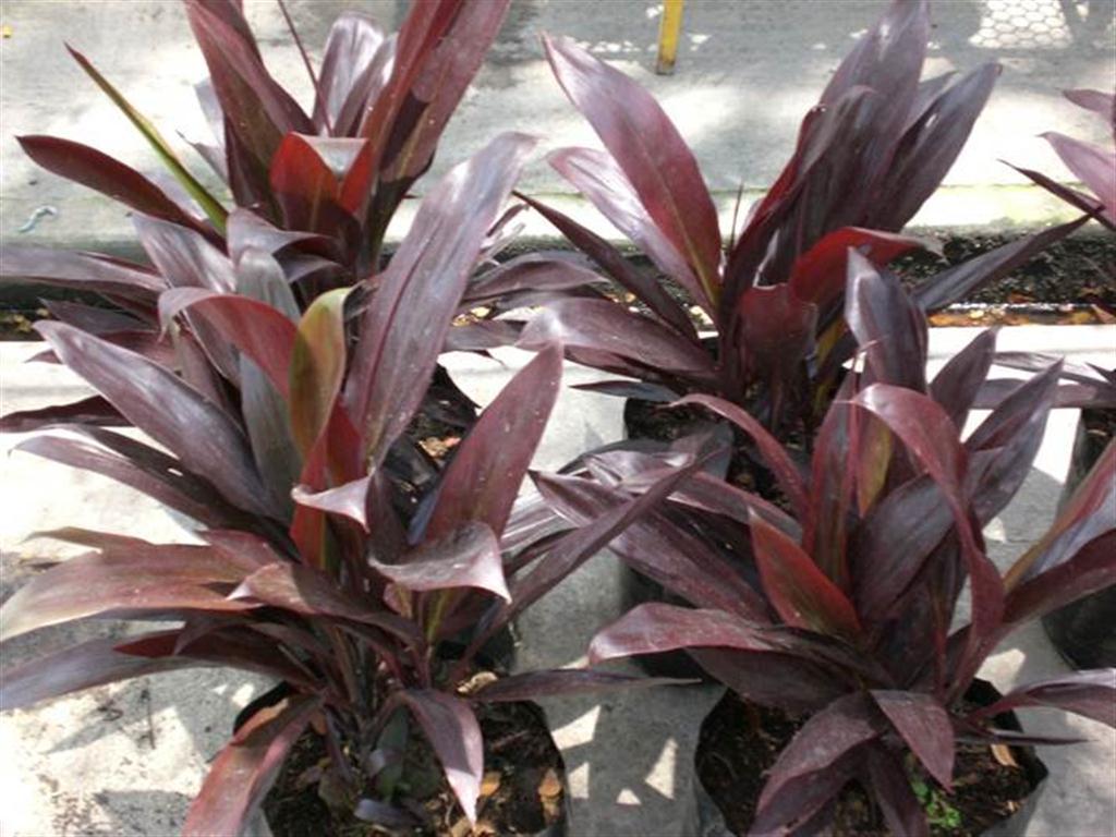 Plantas de exterior pr pictures to pin on pinterest - Plantas ornamentales de exterior ...