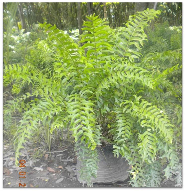 Plantas de interior o sombra for Plantas ornamentales helechos
